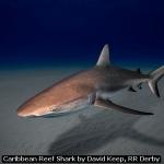 Caribbean Reef Shark by David Keep, RR Derby