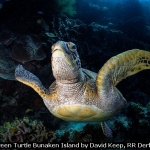 Green Turtle Bunaken Island by David Keep, RR Derby