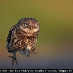 Little Owl in a Hurry by Austin Thomas, Wigan 10