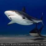 Patrolling Reef Sharks Bahamas by David Keep, RR Derby