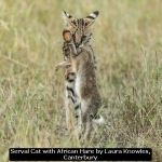 Serval Cat with African Hare by Laura Knowles, Canterbury