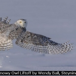 Snowy Owl Liftoff by Wendy Ball, Steyning