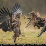 Squabbling Juvenile White Tailed Eagles by Jamie MacArthur, RR Derby