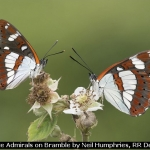 White Admirals on Bramble by Neil Humphries, RR Derby