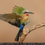 White Fronted Bee Eater by Jamie MacArthur, RR Derby