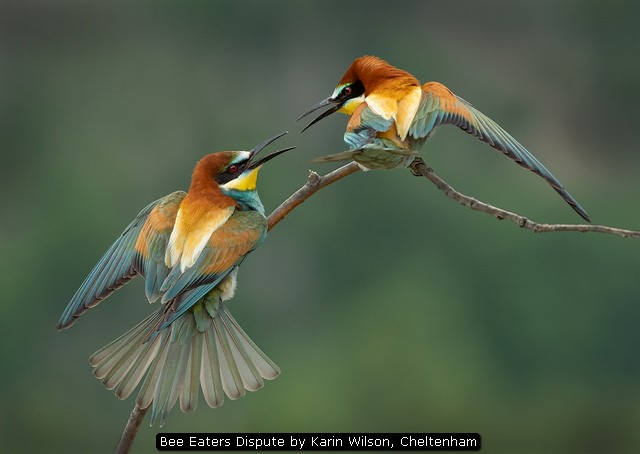 Bee Eaters Dispute by Karin Wilson, Cheltenham