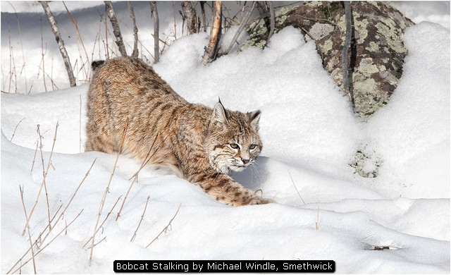 Bobcat Stalking by Michael Windle, Smethwick