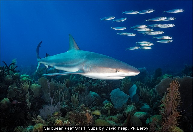 Caribbean Reef Shark Cuba by David Keep, RR Derby