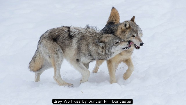 Grey Wolf Kiss by Duncan Hill, Doncaster
