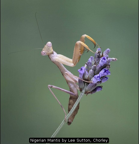 Nigerian Mantis by Lee Sutton, Chorley