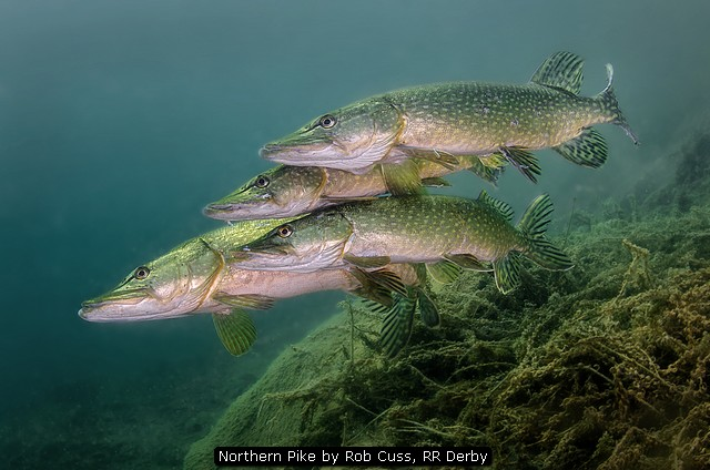 Northern Pike by Rob Cuss, RR Derby