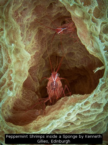 Peppermint Shrimps inside a Sponge by Kenneth Gillies, Edinburgh
