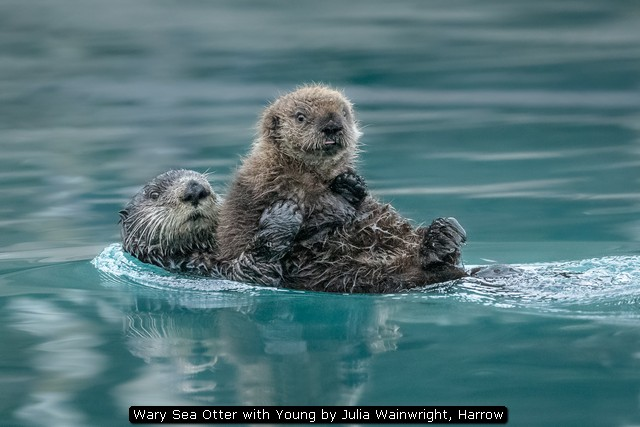 Wary Sea Otter with Young by Julia Wainwright, Harrow