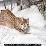 Bobcat Stalking by Michael Windle, Smethwick