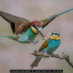 European Bee Eaters by Jamie MacArthur, RR Derby