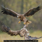 White Tailed Eagles Dispute by Jamie MacArthur, RR Derby