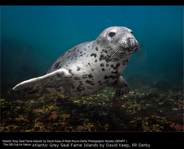 Atlantic Grey Seal Farne Islands by David Keep, RR Derby