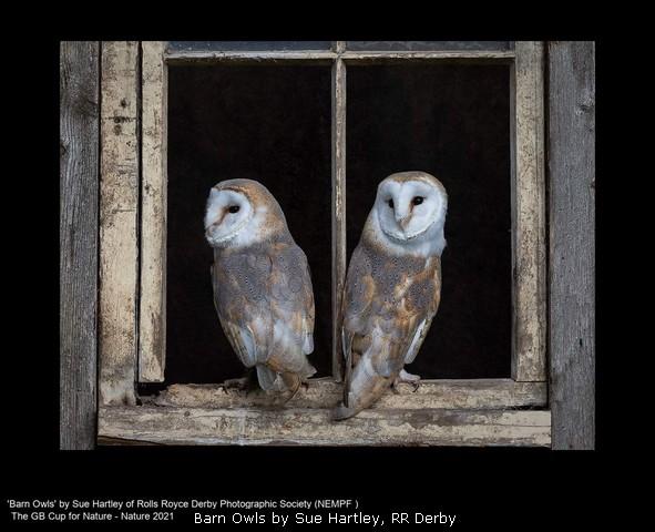 Barn Owls by Sue Hartley, RR Derby