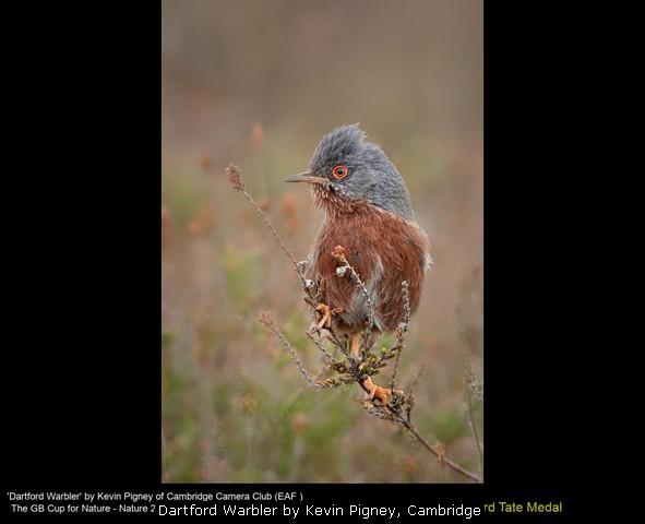 Dartford Warbler by Kevin Pigney, Cambridge