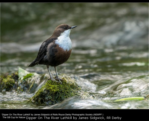 Dipper On The River Lathkill by James Sidgwick, RR Derby