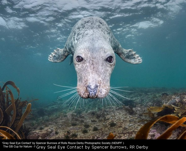Grey Seal Eye Contact by Spencer Burrows, RR Derby
