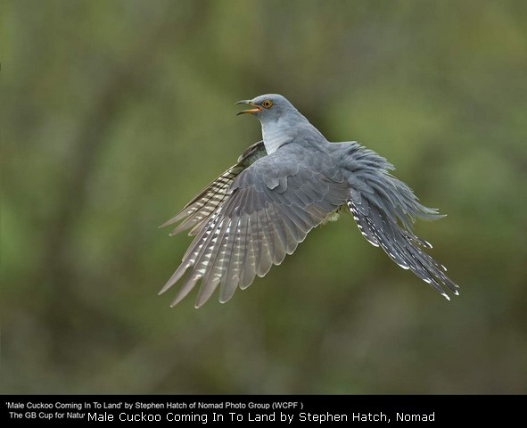 Male Cuckoo Coming In To Land by Stephen Hatch, Nomad