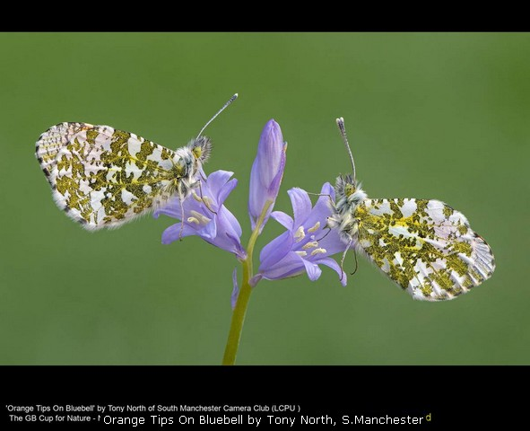 Orange Tips On Bluebell by Tony North, S.Manchester