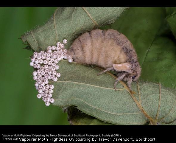 Vapourer Moth Flightless Ovipositing by Trevor Davenport, Southp