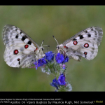 Apollos On Vipers Bugloss by Maurice Pugh, Mid Somerset