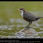 Dipper With Catch by Gordon Rae, Dumfries