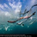 Diving Gannets Shetland 2 by David Keep, RR Derby