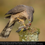 Female Sparrowhawk With Goldfinch by Jamie Macarthur, RR Derby
