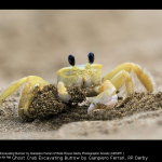 Ghost Crab Excavating Burrow by Gianpiero Ferrari, RR Derby