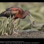 Glossy Ibis Tossing Grub by Tim Downton, Dorchester