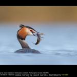 Grebe Fishing by Jason Gericke, Nott&Notts