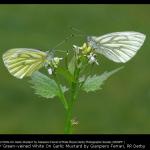 Green-veined White On Garlic Mustard by Gianpiero Ferrari, RR De