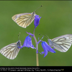 Green-veined Whites by Tony North, S.Manchester