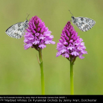 Marbled Whites On Pyramidal Orchids by Jenny Warr, Dorchester