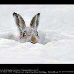 Mountain Hare by Brian Ridgley, Amersham