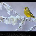 Winter Greenfinch by Gianpiero Ferrari, RR Derby