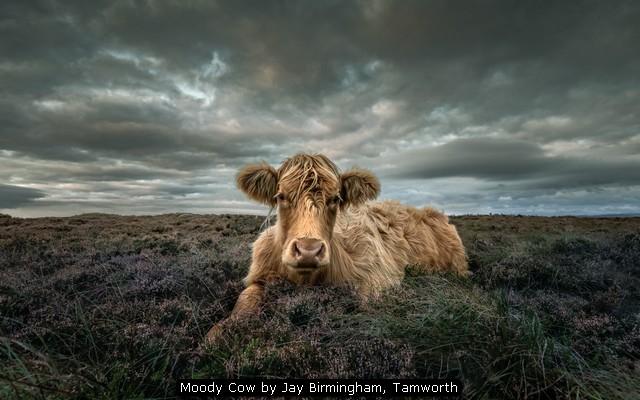 Moody Cow by Jay Birmingham, Tamworth