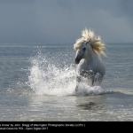 15504_John Bragg_Camargue Horse