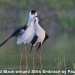 Black-winged Stilts Embrace by Paul Keene, Smethwick
