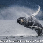 Breaching Humpback by David Moxon, Godalming