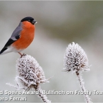 Bullfinch on Frosty Teasel by Gianpiero Ferrari, Rolls Royce Derby