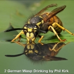 German Wasp Drinking by Phil Kirk, Chorley