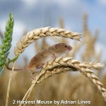 Harvest Mouse by Adrian Lines, Chorley