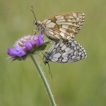 Mating Marbled Whites by Neil Malton, Peterborough