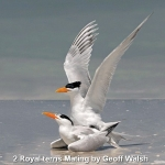Royal Terns Mating by Geoff Walsh, Chorley
