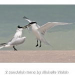 Sandwich Terns by Michelle Walsh, Chorley